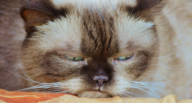Cat that is grumpy and easily offended