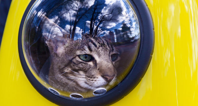 Cat inside of a yellow backpack