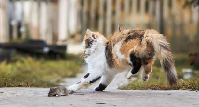 Active cat chasing mouse after taking a glucosamine joint supplement