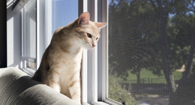 Cat looking out of window after curtains were removed and blinds were installed