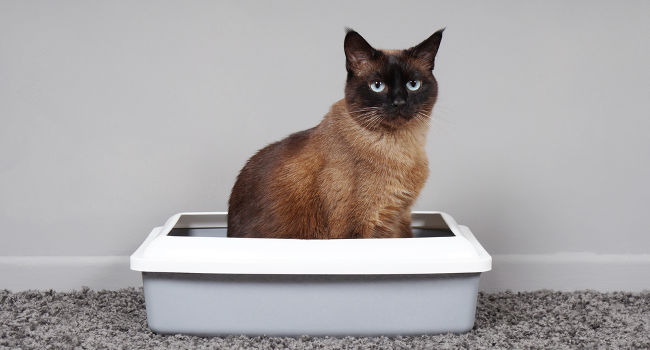 Cat with diarrhea sitting in litter box
