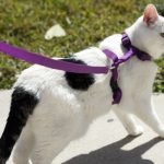 Walking cat on a leash wearing a harness