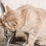 Cat drinking water from water faucet