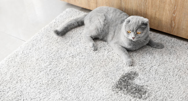 Cat waiting for cat urine to be removed from carpet