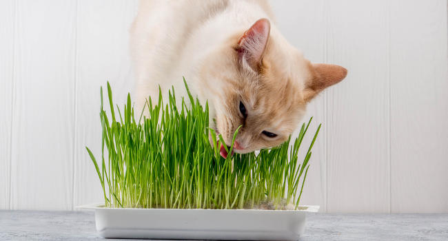 Cat chewing on grass inside
