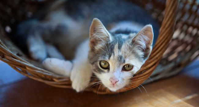 Cat resting in a basket